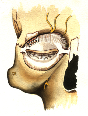 Eye Socket Muscles and Skin