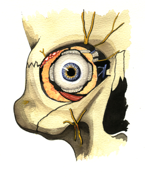 Eye Socket, Eye Ball.
